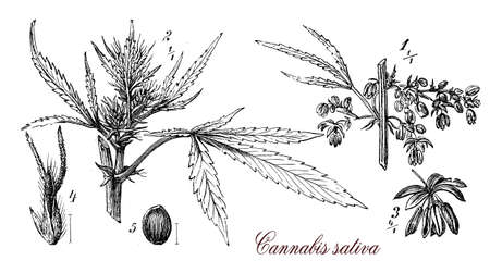Vintage print describing Cannabis sativa annual,herbaceous plant botanical morphology: each part of the plant is harvested differently, the seeds for hempseed oil or bird feed, flowers for cannabinoids consumed for recreational and medicinal purpose