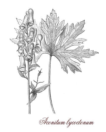 morphology: Vintage print describing Aconitum lycoctonum  flowering perennial plant botanical morphology: native of Europe and Nothern Asia, poisonous with palmated leaves dark violet flowers and fruits as capsules with seeds.It was used as arrow poison.