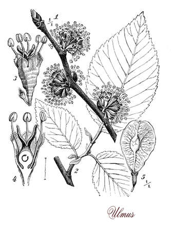 Vintage print describing Elm  botanical morphology: deciduous flowering tree,  spontanous in forest and landscapes, is cultivated as ornamental plant in streets, gardens, parks