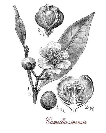 Vintage print describing Camellia sinensis or Camellia flowering plant botanical morphology:leaves are used to produce tea, plant originates from Asia and is cultivated in tropical and subtropical areas.Flowers are yellow-white with 7-8 petals, seeds are