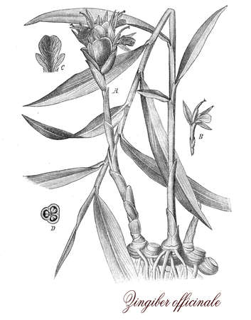 ginger root: Vintage print describing Ginger botanical morphology:flowering  plant, the ryzome or Ginger root is well know as spice and popular medicine