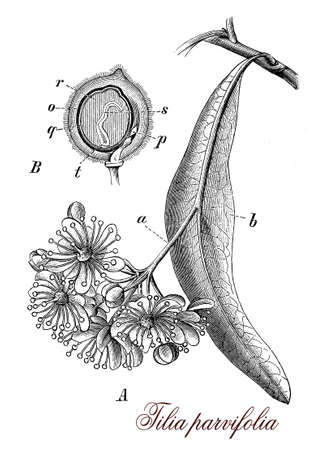 tilia: Vintage print describing tilia or Lime tree botanical morphology:large, deciduous tree, hermaphroditic with male and female flowers and dense heart shaped foliage. Cultivated as ornamental, for wood  (guitar,carved figurine) and herbal medicine