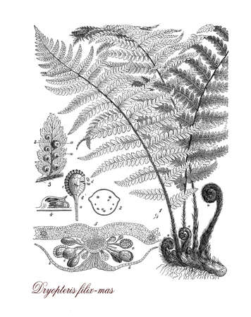 botanical illustration: Vintage print describing male fern botanical morphology: semi-evergreen plant grows spontaneous in woodland temperate shading places. it is cultivated as ornamental plant in gardens