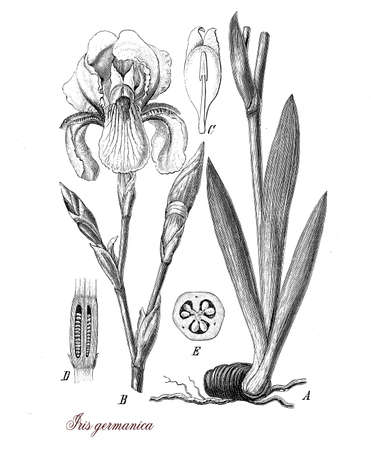 Vintage print describing German Iris botanical morphology: flowering plant with perennial bulb,the beautiful orchid-like flowers are of every color. It is cultivated as ornamental plants for gardens.