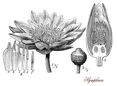 morphology: Vintage print describing Nymphaea or water-lily plant botanical morphology: aquatic perennial edible herb with ryzomes floats on the surface of water, is cultivated  for the beautiful flowers in shades of white, pink, blue, yellow as ornamental plant for