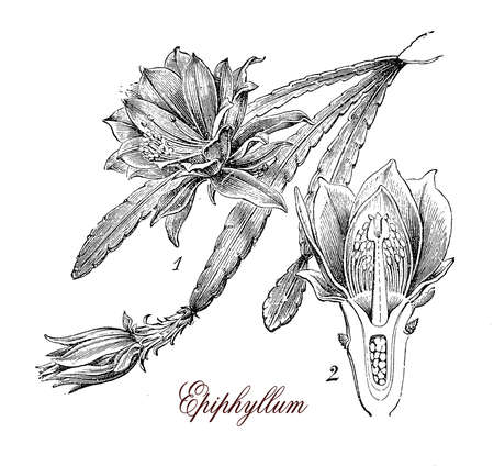 illustrated: Vintage print describing Epiphyllum flowering plant botanical morphology: plant of cactus family with large beautiful flowers white or red. Fruits are edible. Stock Photo