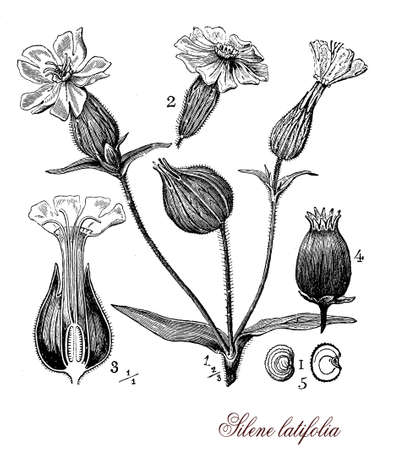 five petals: Vintage print describing white campion plant botanical morphology: flowering plant herbaceous annual grows spontaneous in fields and meadows in sunny areas, the flowers grow in clusters with five petals Stock Photo