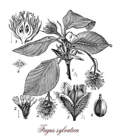 illustrated: Vintage print describing common beech or beech  botanical morphology: deciduous large tree  grows up to 50 m (160 ft). in height and 3 m (9.8 ft) , its lifespan is normally 150�200 years.Leaves are alternate, the female flowers produce beechnuts.