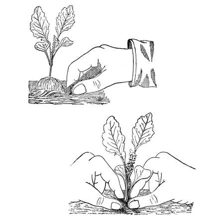 firm: Gardening vintage illustration, sowing plants digging a ditch and pressing firm the soil around the plant Stock Photo