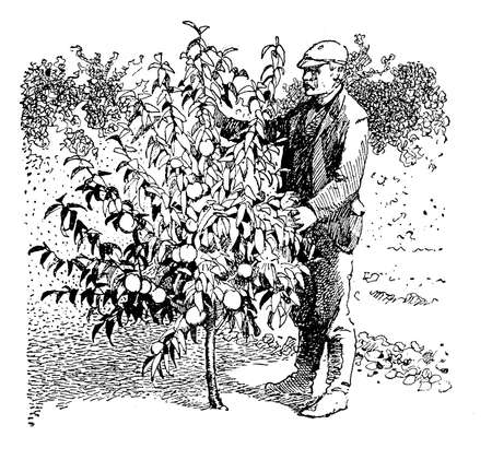 peach tree: Horchard vintage illustration showing the height of a peach tree two years after plantation
