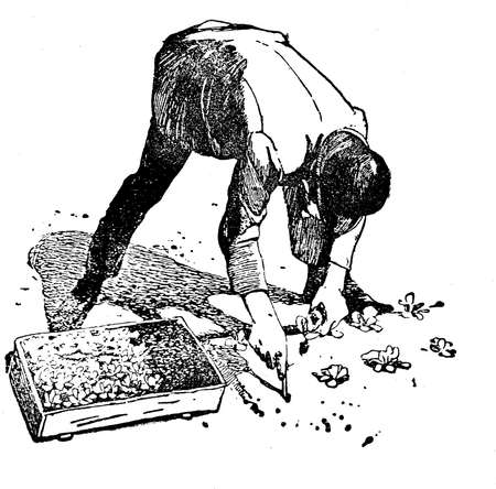cultivation: Horticulture vintage illustration, farmer sows greenhouse plants into the soil  digging holes at regular distance Stock Photo