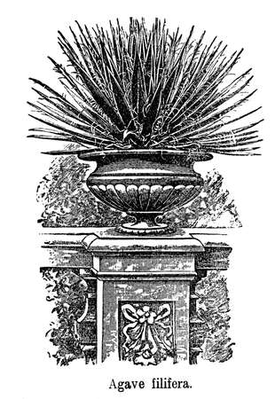 agave: Vintage illustration, ornamental garden with thread agave plant (Agave filifera) in stone vase Stock Photo