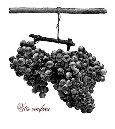 vitis: Horticulture vintage illustration, two ripe and fresh table grapes Stock Photo