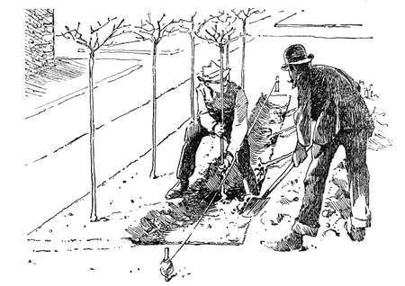sow: Horticulture illustration -in the orchard, two farmers sow young trees in a prepared soil truck with the help of spade and positioning thread