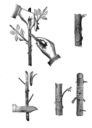 Horticulture illustration - grafting techniques. Grafting is a horticultural technique whereby tissues from one plant are inserted into another of Those so did the two sets may join together.