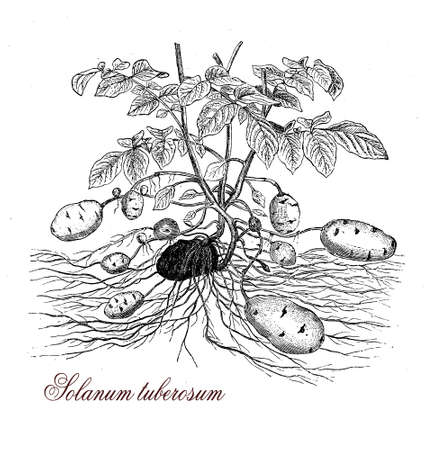 tuberosum: Potatoes, well known edible tubers, were introduced from the Andes region approximately four centuries ago. Herbaceous perennial, Solanum tuberosum is the widely cultivated species