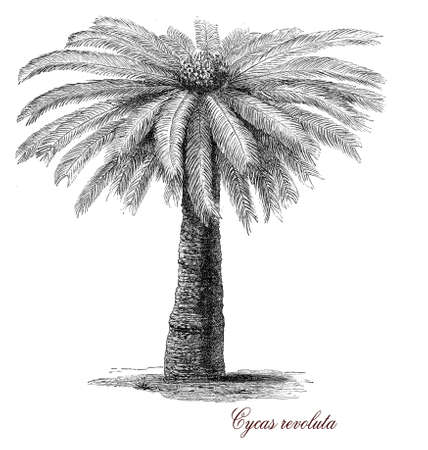 extremely: Sago palm or Cycas revoluta is an ornamental plant native from Japan with a crown of shiny dark green leaves on a thick shaggy trunk. it is extremely poisonous to animals and humans. Used also as bonsai plant