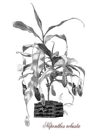 pitfall: Nepenthes robusta is a tropical pitcher plant, carnivorous with pitfall traps; it supplies available nutrients also from the insect prey