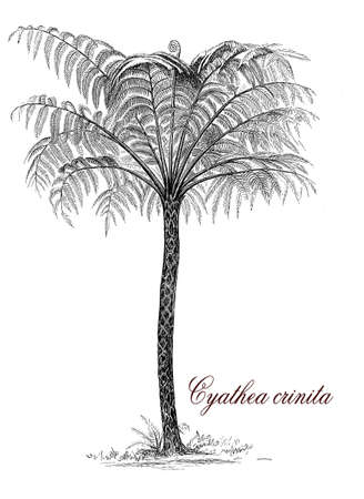 populated: Cyathea crinita is a tree fern from India and Sri Lanka and populated wetland forest with trunk-like stems up to 10 metres (33 ft) tall. Stock Photo