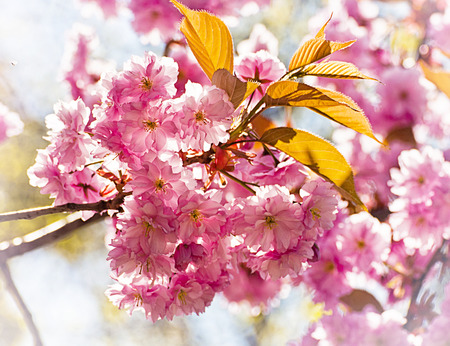 back light: Sakura cherry tree flowers with back light effect and blurred background