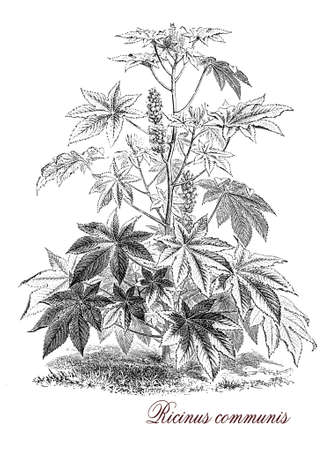 illustrated: Vintage print describing Ricinus communis, flowering plant known also as castor-oil-plant, from the seeds is produced castor oil used as motor lubricant and in medicine and ricin, a water-soluble toxin.