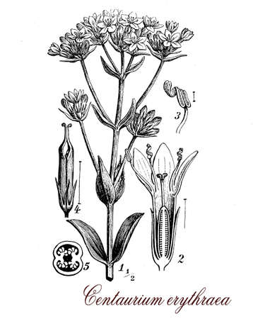century plant: Centaurium erythraea or common centaury is a medical herb, the tea is used for gastric and liver diseases