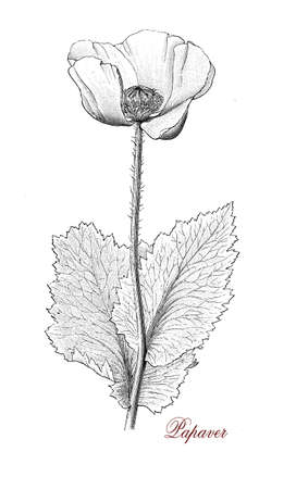 codeine: Papaver is an ornamental plant with red, pink, orange, yellow and lilac flowers and with some culinary use. Several kinds have medicinal use for their narcotic and hypnotic property. Opium, morphine and codeine are alkaloids found in several poppy varieti