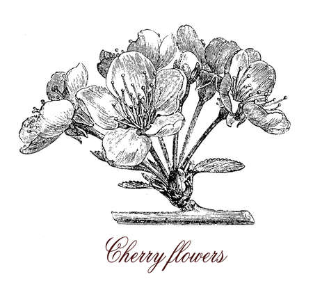 floriculture: Cherry blossoms are the flowers of several trees of the kind Prunus, particularly the Japanese cherry called sakura. Many varieties cultivated as ornamental  do not produce fruit.