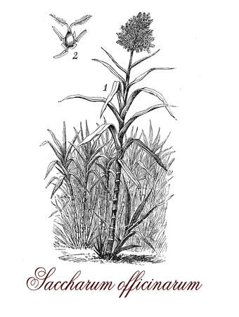 sugarcane: Saccharum officinarum or sugar cane is a strong-growing grass originated from Asia, the stems are cultivated worldwide for sugar production.The stems can reach 5 mt. (16ft.) in height and the internodes contain a sugary sap.
