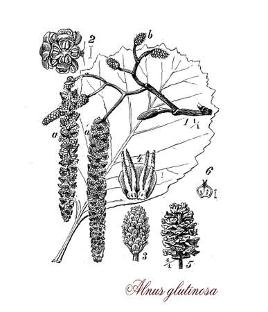 alder tree: Common alder is a medium size tree, grows in woodland , the wood is soft and is used for paper, smoking foods and joinery