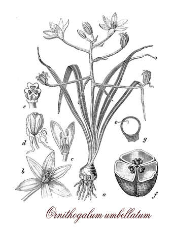 morphology: Ornithogalum umbellatum or garden star of Bethlehem is a perennial flowering toxic plant, cultivated in gardens as ornamental.