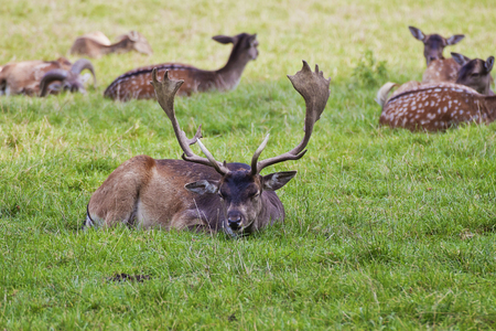 Red deer crouched herd resting in field with male with well developed antlers in front, blurred background