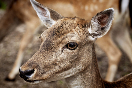 ruminant: Nature wildlife portrait,young red deer in natural environment, blurred background Stock Photo