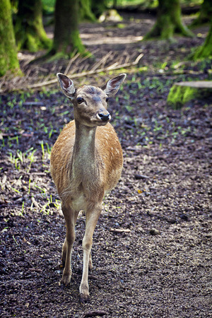 ruminant: Nature wildlife portrait, fawn standing in natural environment, blurred background