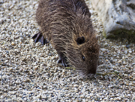 Coypu, herbivorous semiaquatic rodent with webbed feet and coarse fur