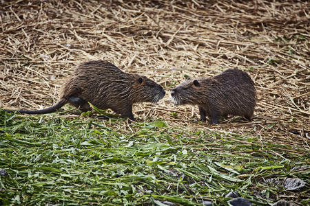 webbed: Two arguing coypus,  herbivorous semiaquatic rodents with webbed feet and coarse fur