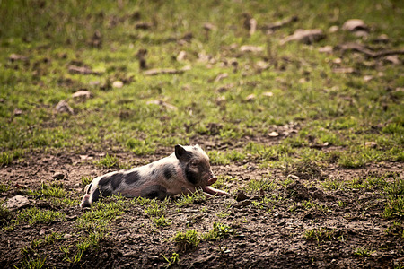 potbellied: Pot-bellied pig resting in field. the Pot-bellied pigs are farmyard animals descending from wild boars, smaller than standard and  originated from Vietnam Stock Photo