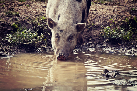 potbellied: Pot-bellied pig drinking water from a puddle. the Pot-bellied pigs are farmyard animals descending from wild boars, smaller than standard and  originated from Vietnam Stock Photo