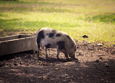 potbellied: Farm animals, pot-bellied pig free scrabbling in yard at evening dusk.