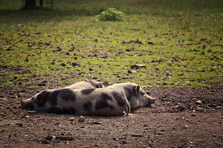 potbellied: Three pot-bellied pigs resting in field. They are farmyard pigs descending from wild boars, smaller than standard and  originated from Vietnam
