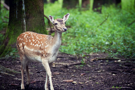 cervus: Nature wildlife portrait, fawn standing in natural environment, blurred background