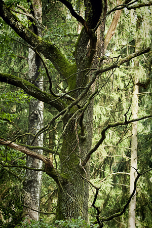 contorted: Tree with twisted branches in woodland landscape