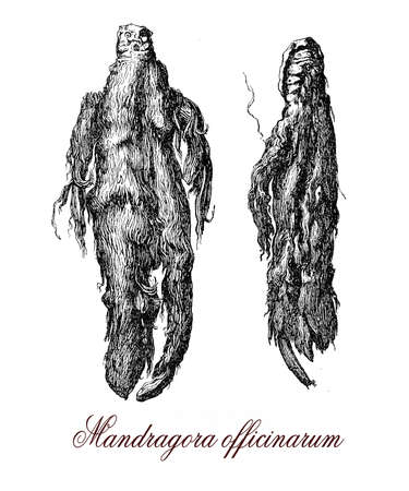 Mandragora is a poisonous plant native from Mediterranean area and contains deliriant hallucinogenic tropane alkaloids.The shape of the roots often resembles human figures. Vintage engraving XVI century
