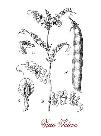 fodder: Common vetch is a weed with pealike flowers, the fruit is a legume pod used as fodder for horses and cattle.