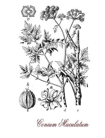 cicuta: Hemlock es una planta herbácea alta venenosa con pequeñas flores blancas agrupadas, su coniina toxina es similar al curare Foto de archivo