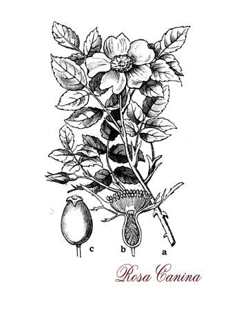 dog rose: Dog rose or rosa canina is a deciduous rambling shrub with pale pink flowers and red fruits, high in antioxidants and vitamin C used in tea, marmalade and syrups.