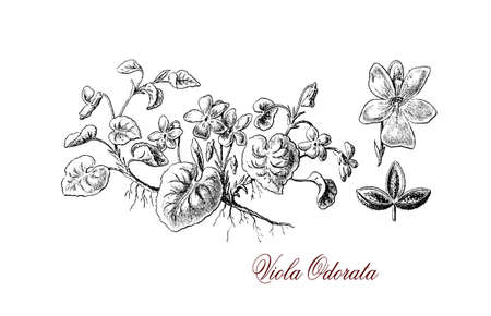 illustrated: Garden violet or viola odorata is a perennial flowering plant, the flowers have a sweet scent popular in Victorian era and leaves are still used in perfumery