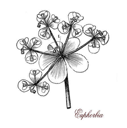 engravings: Euphorbias or spurges (family Euphorbiaceae) may range from tiny annual plants to large and long-lived trees. Some are commonly cultivated as ornamental, the latex is poisonous.