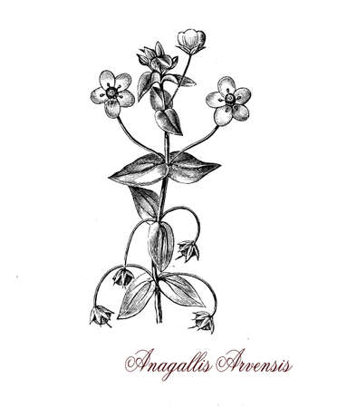 engravings: The Scarlet pimpernel (Anagallis arvensis) is a low-growing annual plant now worldwide spread, regarded by some as an ornamental plant and by others as a weed.