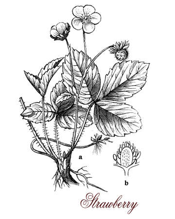 engravings: Strawberry plant is cultivated worldwide for the red sweets and aromatic fruits, used in fresh and prepared food as preserves, pies, juices,ice creams  and milkshakes